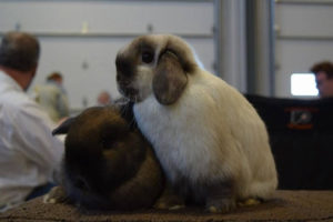 Dominion Rabbit & Cavy Breeders Assoc. Spring Show