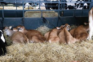 Jersey Cattle Show